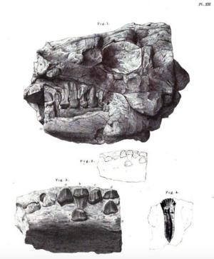 Anthodon (reptile) - Skull of A. serrarius