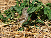 Anthus berthelotii -Gran Canaria, Canary Islands, Spain-8.jpg