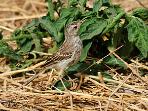 Berthelot's pipit - On Gran Canaria, Canary Islands, Spain