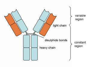 Fragment antigen-binding - Heavy and light chains, variable and constant regions of an antibody.