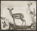 Antilope dorcas - 1700-1880 - Print - Iconographia Zoologica - Special Collections University of Amsterdam - UBA01 IZ21400067.tif