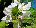 Apple Blossom, Oak Glen 4-12-14a (13879047883).jpg