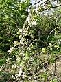 Apple blossom - geograph.org.uk - 489351.jpg