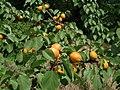 Apricot tree05.jpg