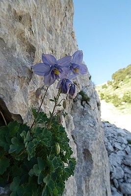 Dinaric Columbine (Aquilegia dinarica in the wild in the sub-Adriatic Orjen)