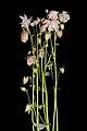 Aquilegia vulgaris20170610 8027.jpg