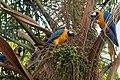 Ara ararauna -Parque del Este, Caracas, Venezuela -eating-8.jpg