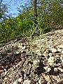 Arabidopsis thaliana sl24.jpg