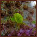 Araignée vert fluo 3.JPG