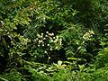 Aralia cachemirica (7864752360).jpg