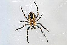 Barn Spider Wikipedia