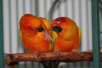 Sun parakeet - A mating pair of sun conures