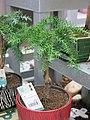 Araucaria cunninghamii bonsai (small).jpg