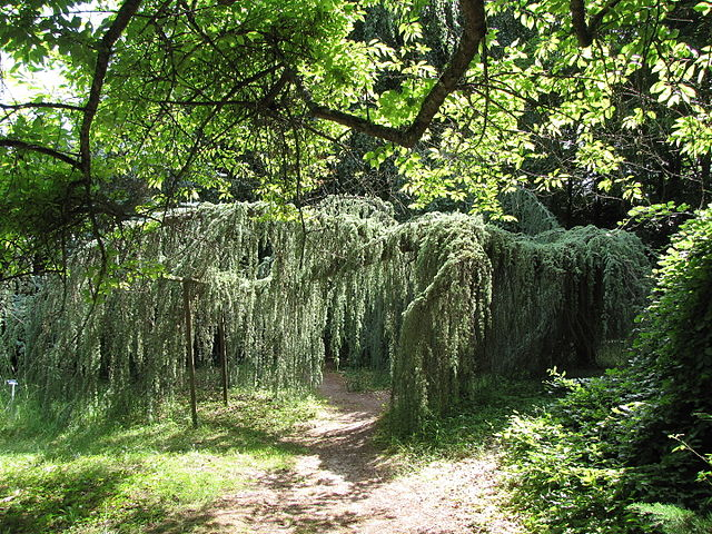 file arboretum des barres-juniperus horizontalis-1955-b jpg