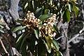 Arbutus xalapensis flowers 1.JPG