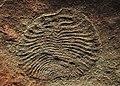 Archaeaspis fedonkini アーケアスピヌス フェドンキニ.jpg