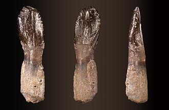 Archaeodontosaurus - Multiple views of a tooth