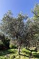 Archangelos Αρχάγγελος Rhodes Ρόδος 2019-11-27 16 olive grove.jpg