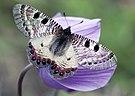 Archon apollinus bellargus - Beautiful false apollo.jpg