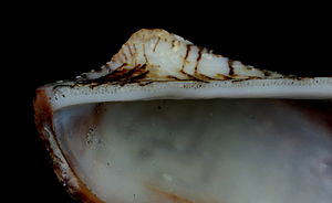 Hinge line - Part of the hinge line of one valve of an ark shell, Arcidae
