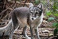 Arctic Fox Attentive in Summer Coat (43863665170).jpg