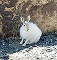 Arctic Hare (2738927801).jpg