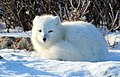 Arctic fox (6375652473).jpg