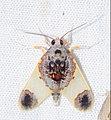 Arctiid Moth (Thyromolis pythia) (38715004930).jpg