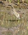 Ardeola grayii - Gujarat - Flickr - Lip Kee.jpg