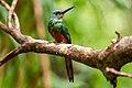 Ariramba-de-cauda-ruiva (Galbula ruficauda) - Rufous-tailed Jacamar.jpg