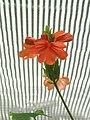 Aristolochia labiata - Copenhagen Botanical Garden - DSC07972.JPG