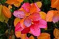Aronia leaves on a rainy autumn day in Tuntorp 2.jpg
