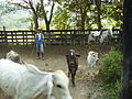 Arriando ganado.jpg