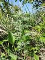 Artemisia pontica sl17.jpg
