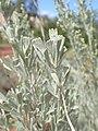 Artemisia tridentata kz16.jpg