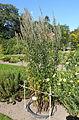 Artemisia verlotiorum (Artemisia selengensis) - Bergianska trädgården - Stockholm, Sweden - DSC00175.JPG