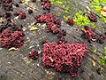 Ascocoryne sarcoides (Fleischfarbener Gallertbecher) syn. Ombrophila sarcoides - hms(1).jpg