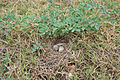 Ashy-crowned Sparrow Lark (Eremopterix grisea) nest W IMG 0855.jpg