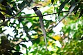 Asian Paradise Fly Catcher 2 nd.JPG