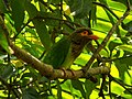Asian barbet (Megalaimidae).jpg