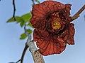 Asimina triloba pollination.jpg