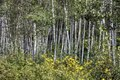 Aspen trees along the high dirt road leading to Crested Butte, Colorado, from the distant Crystal River Valley LCCN2015633793.tif