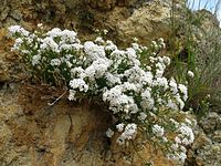 Asperula cynanchica 080608a