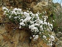 Asperula cynanchica 080608a