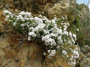 Asperula cynanchica 080608a.jpg