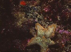 Asterinidae - Image: Asterina gibbosa Pennant, 1777