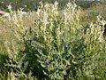 Astragalus drummondii (3307772705).jpg