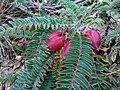 Astragalus utriger 32535912.jpg