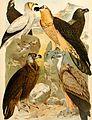 Atlante ornitologico - uccelli europei - con notizie d'indole generale e particolare (1902) (14749492135).jpg