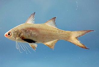 Threadfin - Atlantic threadfin, Polydactylus octonemus